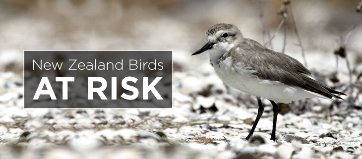 island-conservation-preventing-extinctions-new-zealand-bird-feat