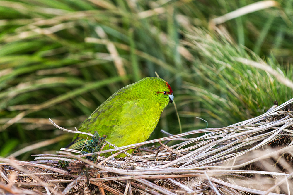 island-conservation-predator-free-reischecks-parakeet
