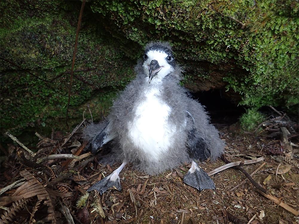 island-conservation-preventing-extinctions-seabirds-hawaii-hawaiian-petrel