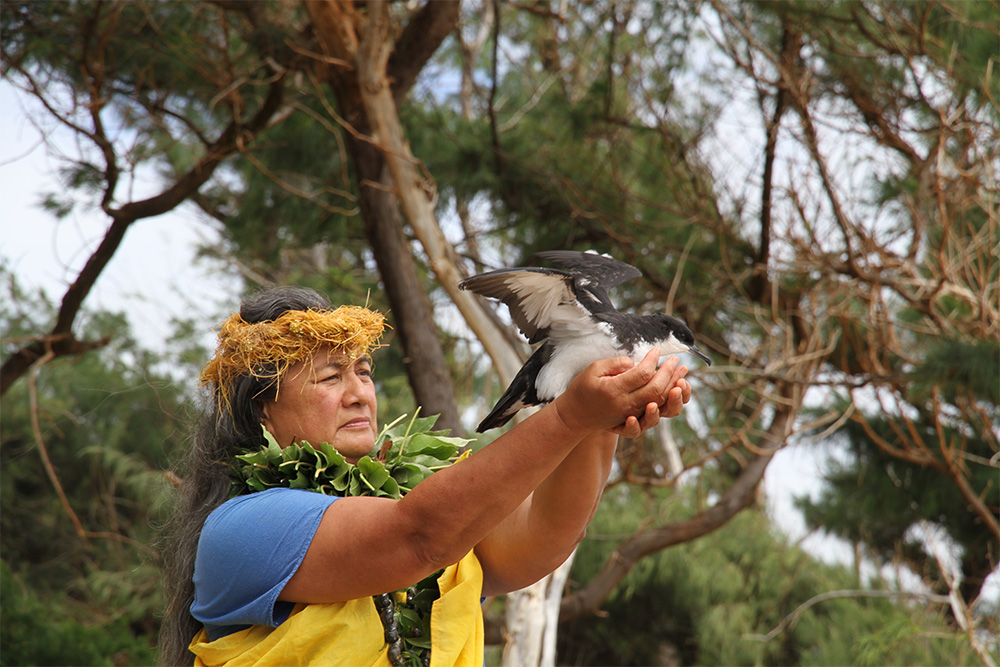 island-conservation-preventing-extinctions-seabirds-hawaii-lehua-newell's-shearwater-release