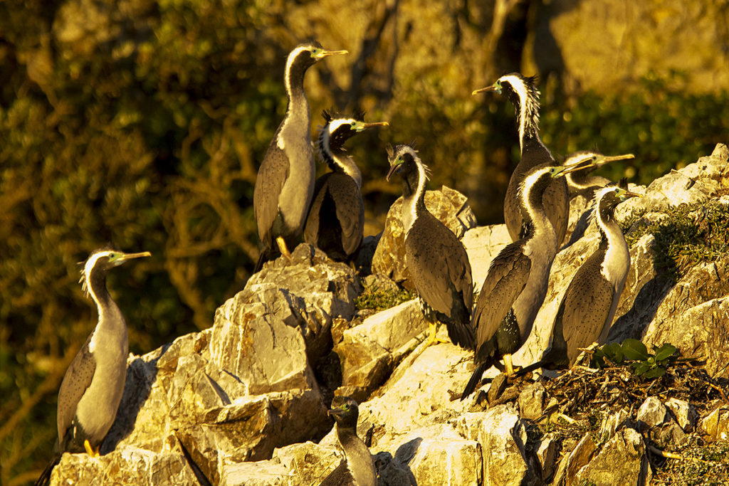 island-conservation-spotted-shag