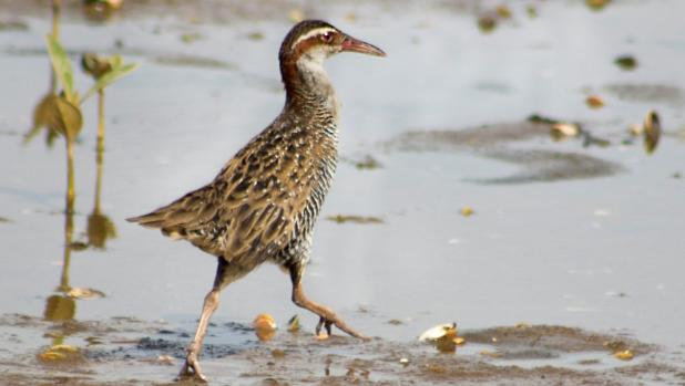 island-conservation-banded-rail