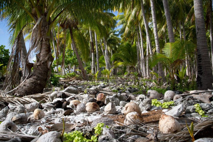 island-conservation-preventing-extinctions-coconuts-tenarunga