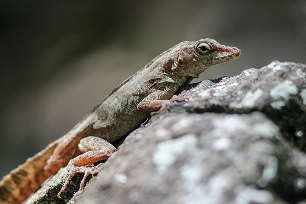island-conservation-preventing-extinctions-community-ecology-invasive-species-desecheo-anole