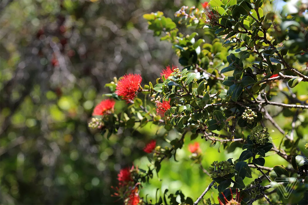 island-conservation-hawaii-seed-bank-ohia-tree