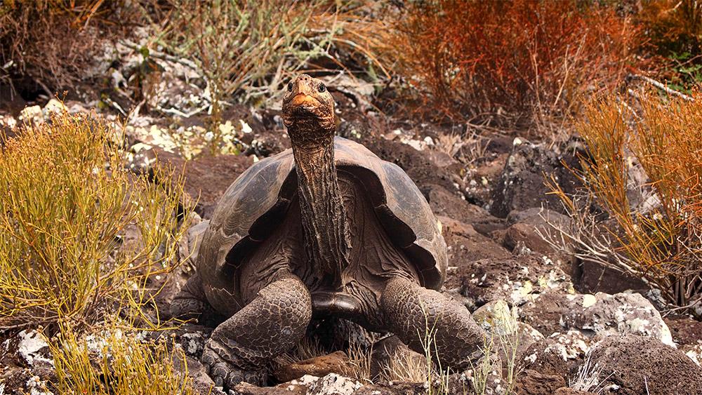 island-conservation-jon-hoekstra-pinzon-tortoise