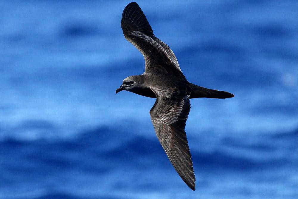 island-conservation-mele-lehua-bulwer-petrel