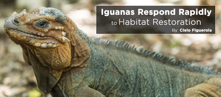 island-conservation-preventing-extinctions-mona-island-iguanas-feat