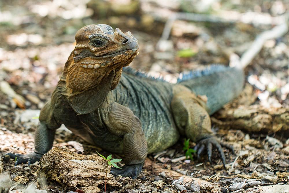 island-conservation-mona-island-rock-iguana