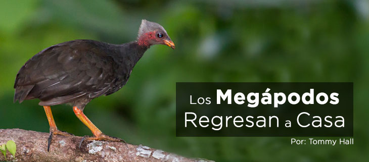 island-conservation-preventing-extinctions-ngeanges-micronesian-megapode-feat-spanish