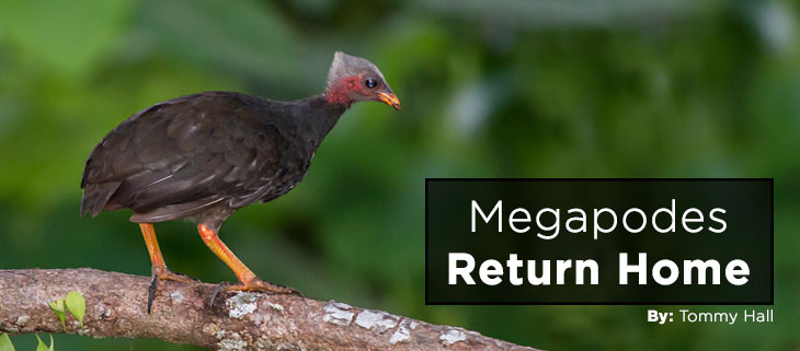 island-conservation-preventing-extinctions-ngeanges-micronesian-megapode-feat
