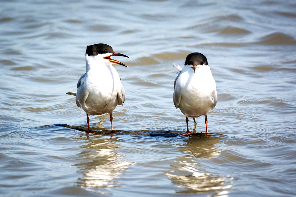 island-conservation-preventing-extinctions-seabird-call-forster-tern-acoustic-monitoring