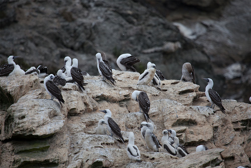 island-conservation-preventing-extinctions-seabirds-colony