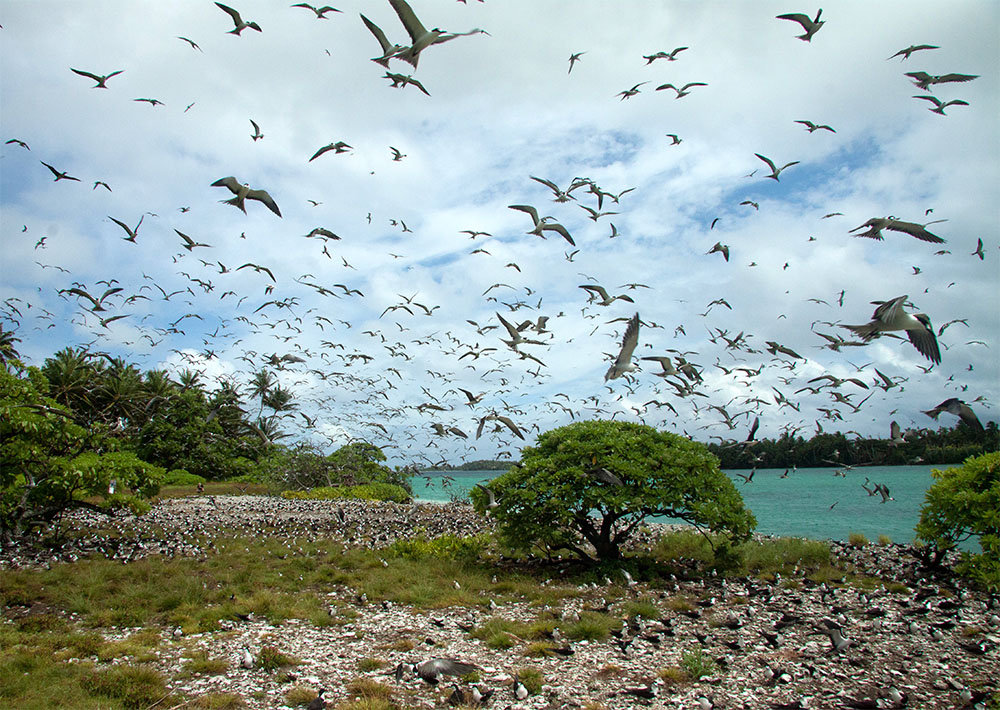 island-conservation-preventing-extinctions-seabirds-palmyra-sooty-terns