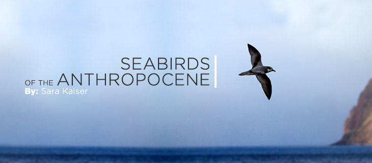 island-conservation-preventing-extinctions-seabirds-stejnegers-petrel-feat