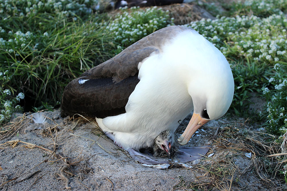 island-conservation-preventing-extinctions-seabirds-wisdom-laysan-albatross