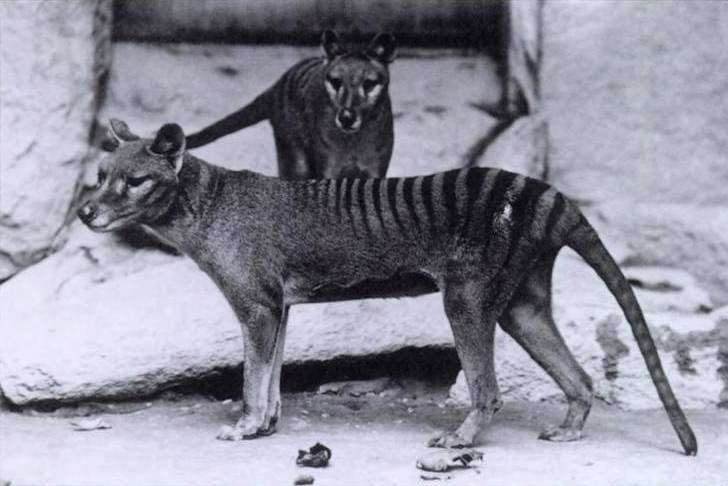 island-conservation-tasmanian-tiger