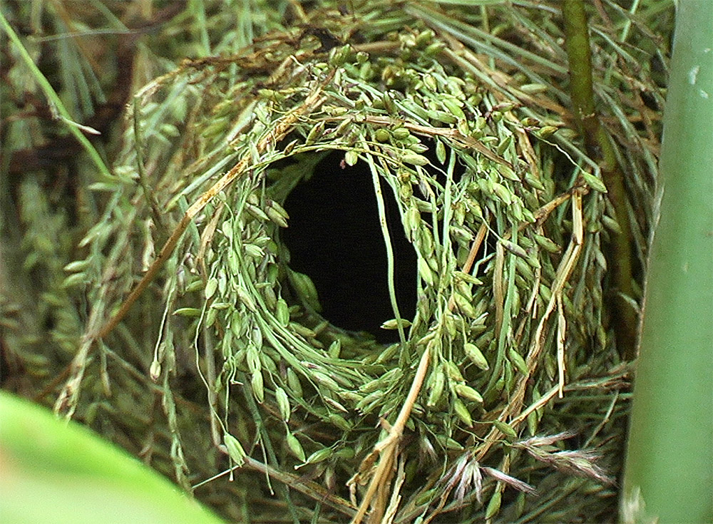 island-conservation-whydah-host-nest