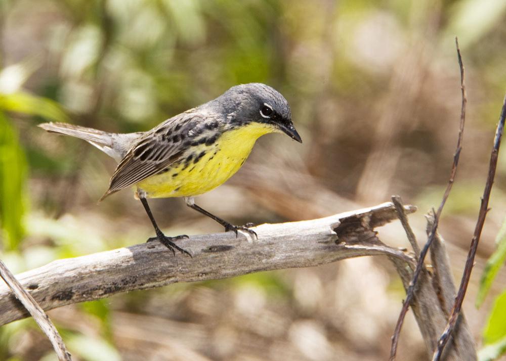 island-conservation-whydah-kirtland-warbler