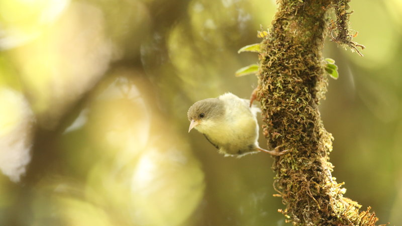 island-conservation-akikiki-honeycreeper-kauai-forest