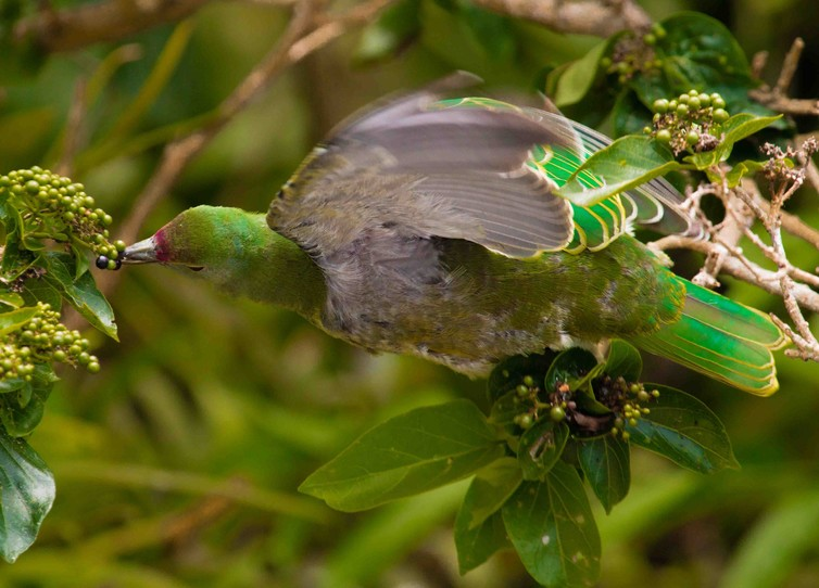 island-conservation-guam-native-bird