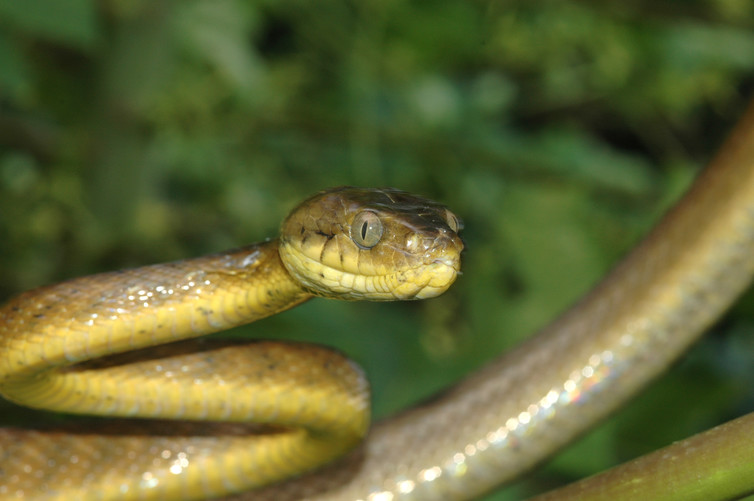 island-conservation-guam-brown-tree-snake