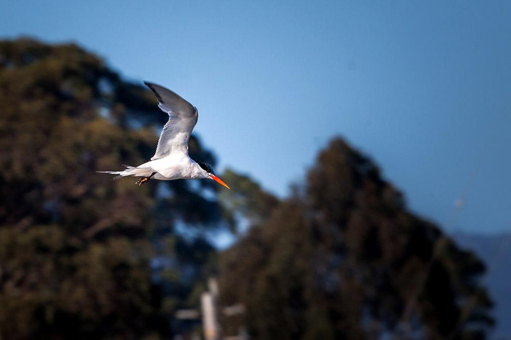 island-conservation-elegant-terns-santa-cruz