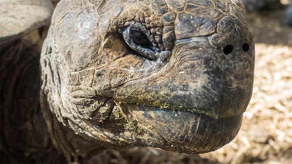 island-conservation-galapagos-giant-tortoise