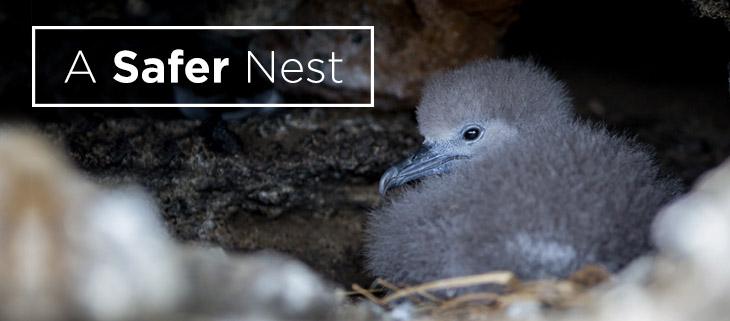 island-conservation-preventing-extinctions-lehua-island-safer-nest-feat