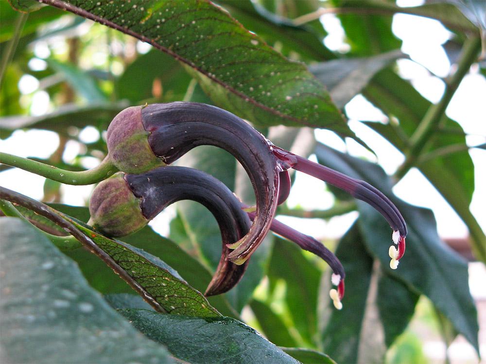 island-conservation-pele-lobeliad-hawaii-plant