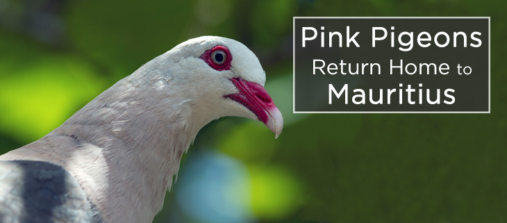 island-conservation-pink-pigeon-captive-breeding-feat