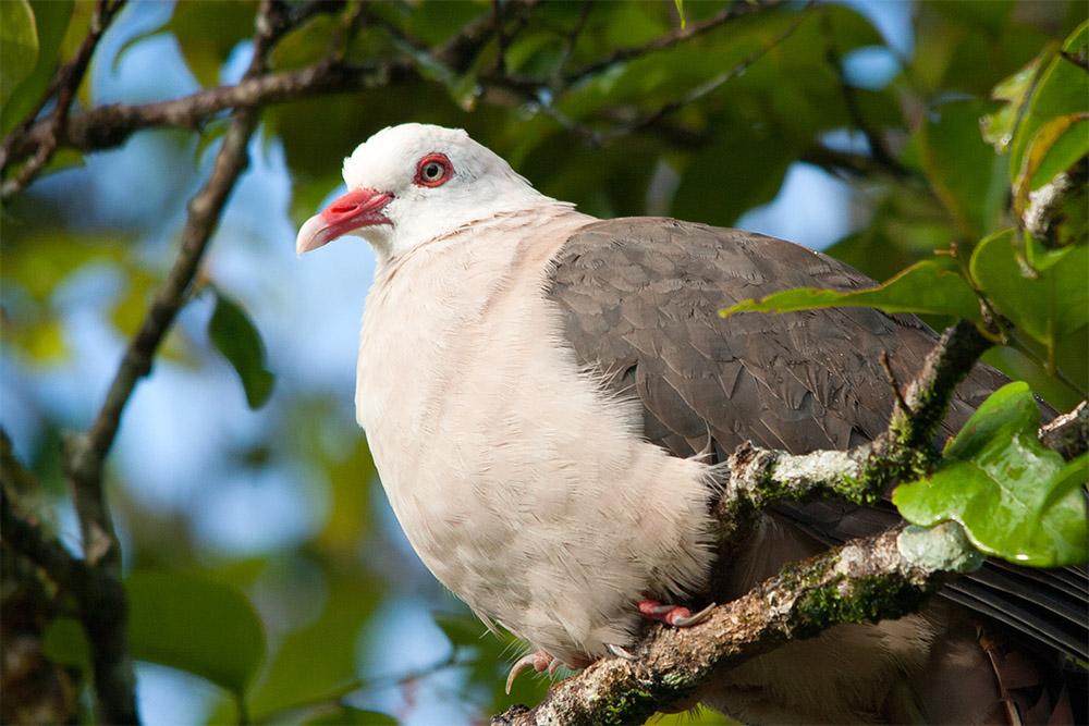 island-conservation-pink-pigeon-captive-breeding