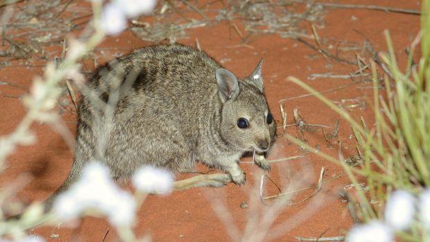 island-conservation-wallaby-dirk-hartog-island