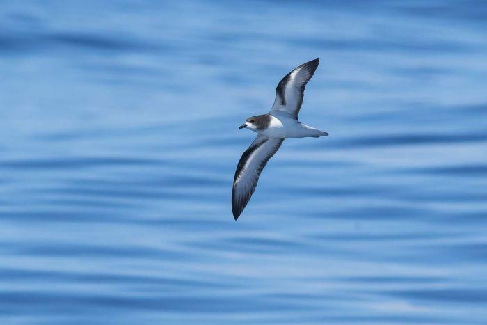 island-conservation-seabird-goulds-petrel