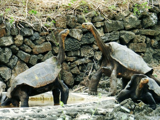 island-conservation-floreana-galapagos-giant-tortoise