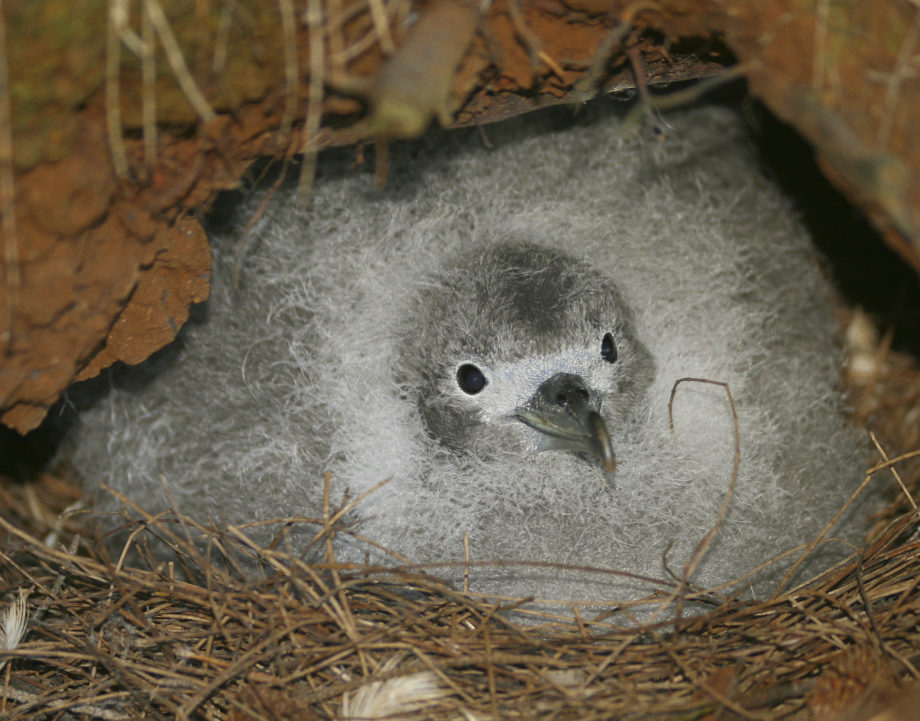 island-conservation-wedge-tailed-shearwater