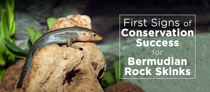 island-conservation-bermudian-rock-skink-feat