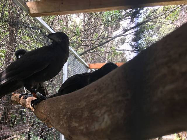 island-conservation-alala-hawaiian-crow-captivity