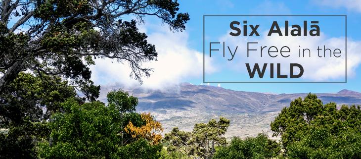 island-conservation-alala-hawaiian-crow-release-feat