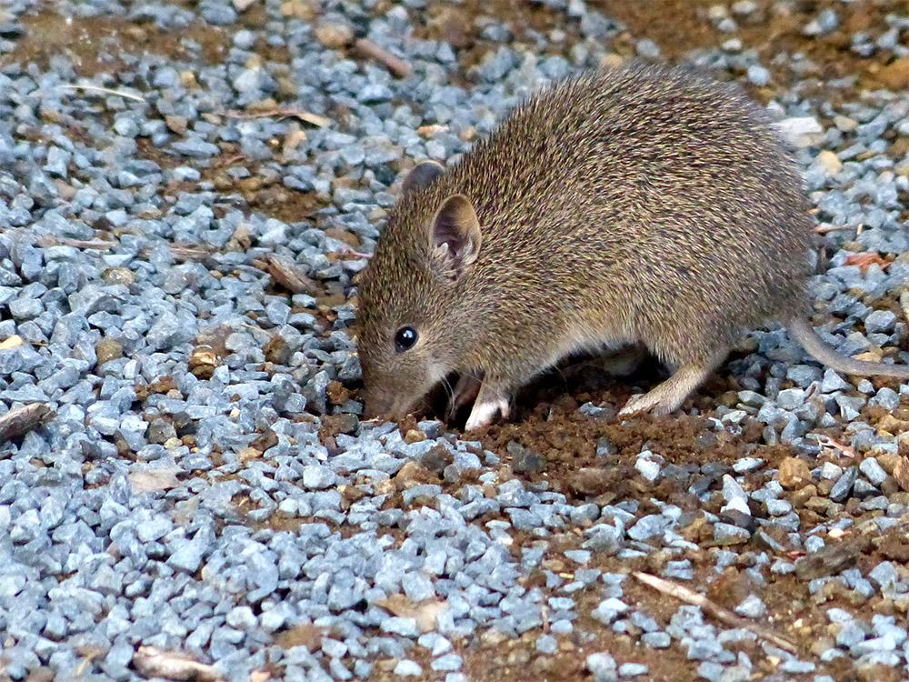 island-conservation-australia-tasmania-bandicoot