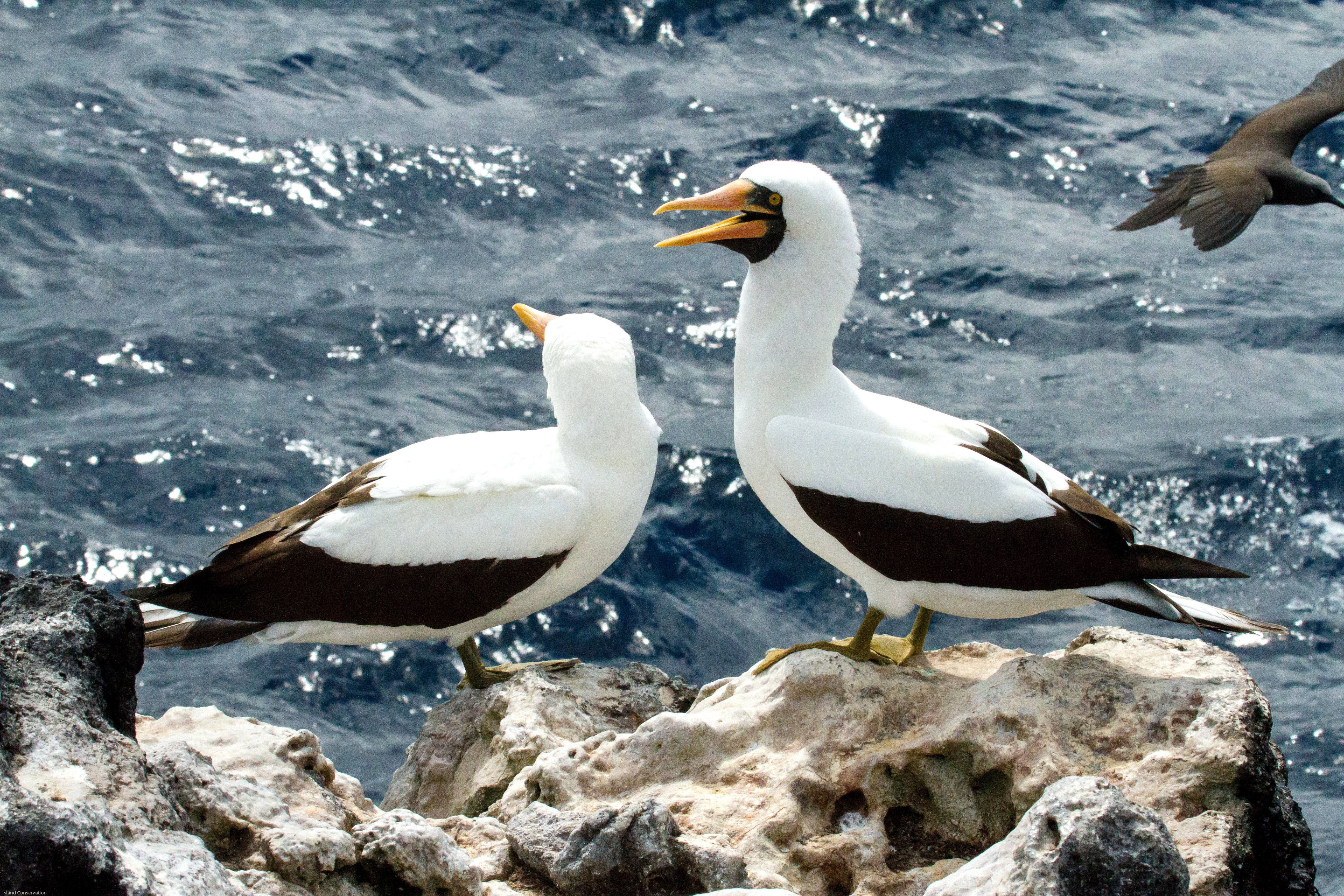island-conservation-lord-howe-island-masked-booby