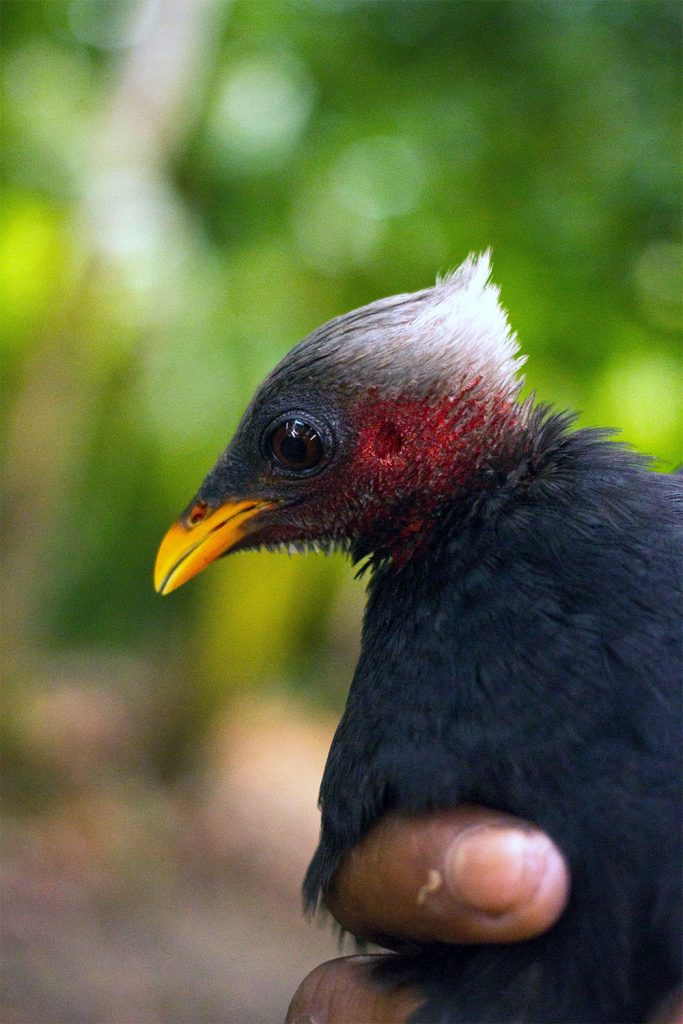 island-conservation-preventing-extinctions-palau-megapode
