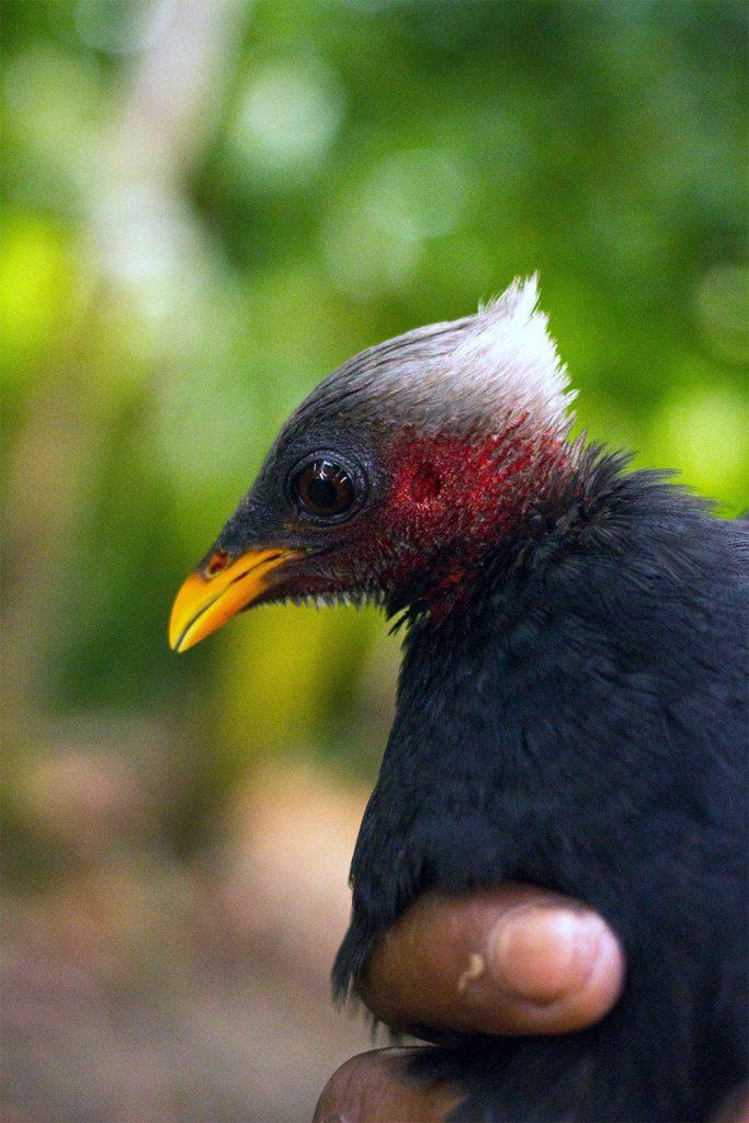 island-conservation-preventing-extinctions-palau-megapode