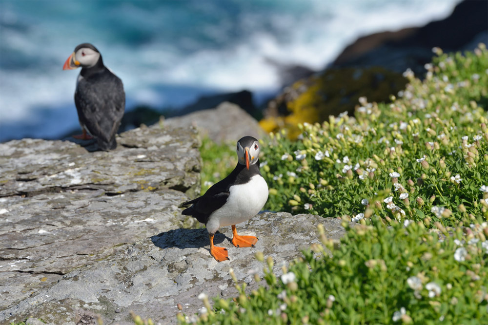 island-conservation-shiant-isles-puffin