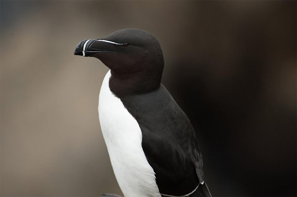 island-conservation-shiant-isles-razorbill