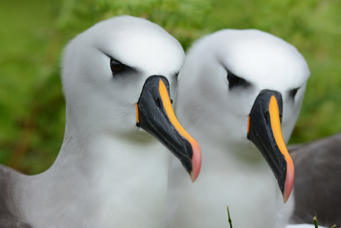 island conservation yellow-nosed albatross island science