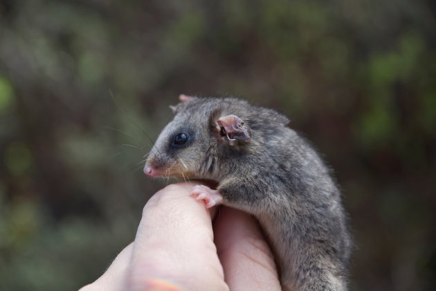 island-conservation-pygmy-possum