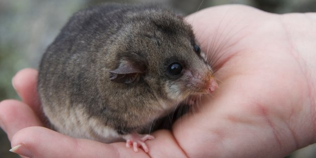 island-conservation-mountain-pygmy-possum