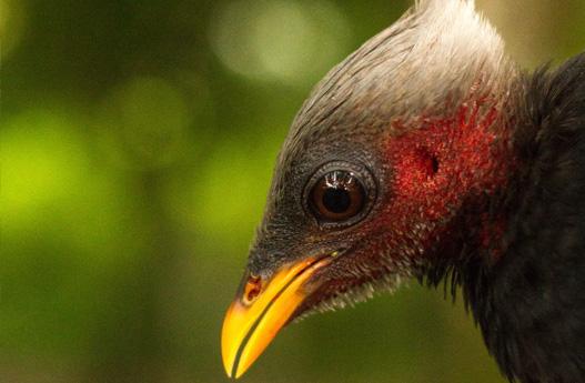 island conservation palau megapode