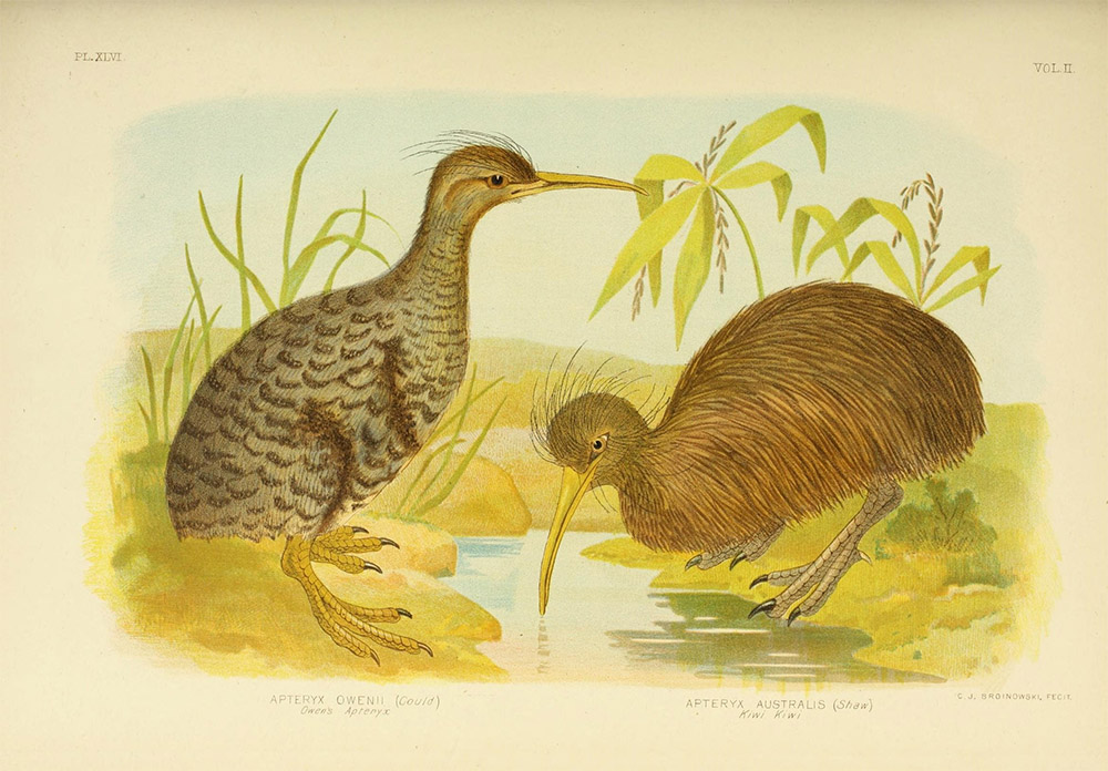 island-conservation-kiwi-illustration-new-zealand